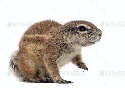 Cape Ground Squirrel, Xerus inauris, sitting against white background