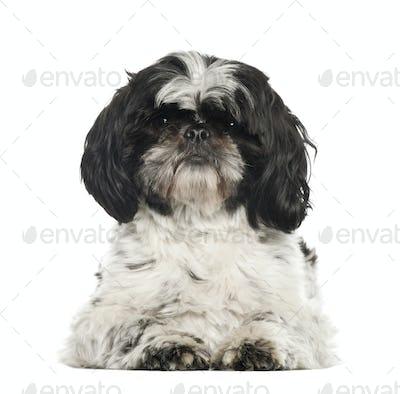 Shih Tzu, 2 years old, lying against white background