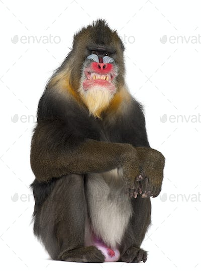 Mandrill sitting and grimacing, primate of the Old World monkey family