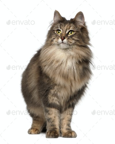 Norwegian Forest Cat, 1 and a half years old, standing against white background