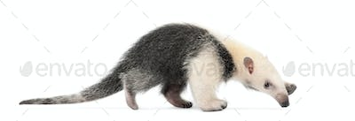 Tamandua, Tamandua tetradactyla, 3 months old, walking against white background