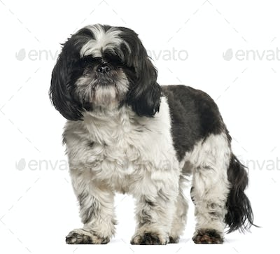 Shih Tzu, 2 years old, standing against white background