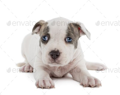 Portrait of American Staffordshire Terrier Puppy lying, 6 weeks old, against white background