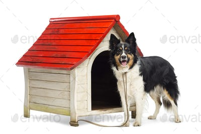 Border Collie tied to a kennel and portrait against white background