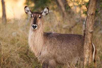 Ellipsen waterbuck