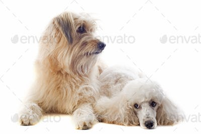 Pyrenean sheepdog and poodle