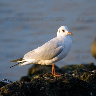 Seagull against a background sea.