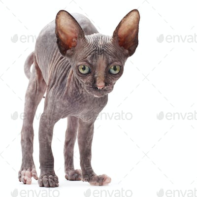 Sphinx bald cat