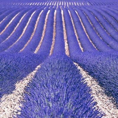 Lavender flower blooming fields as pattern or texture. Provence,