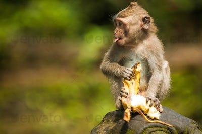 Balinese monkey with banana