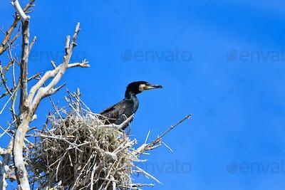 cormorant (phalacrocorax carbo ) on nest