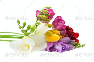 Blooming Freesia.