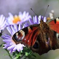 butterfly feeding on purple flower