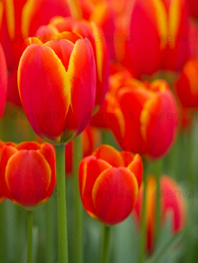 Abstract close up of red and yellow  tulips