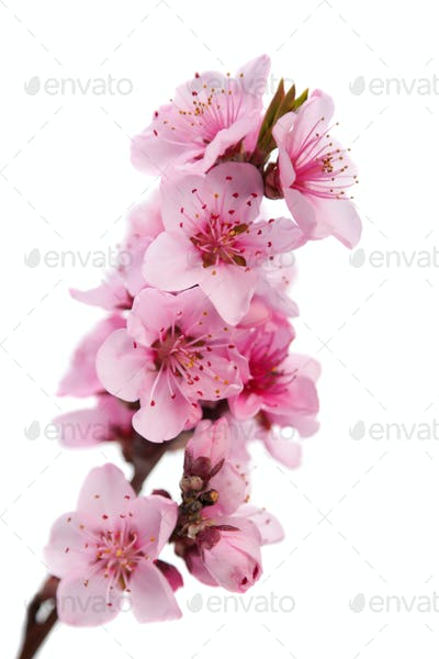 Flowering branch of peach