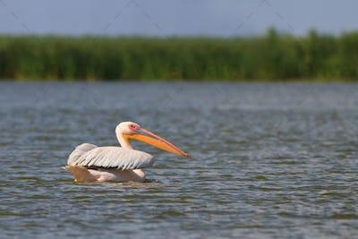 white pelican