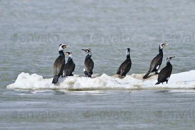 cormorants (phalacrocorax carbo )