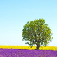 Lavender and yellow flowers blooming field, lonely tree. Provenc