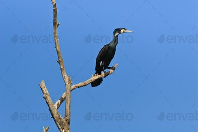 cormorant (phalacrocorax carbo)