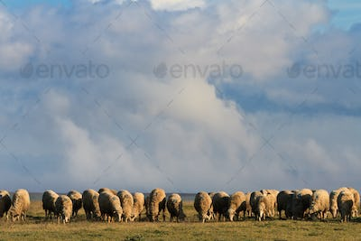 flock of sheep