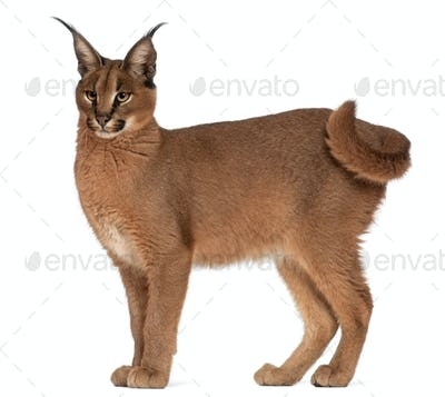 Caracal, Caracal caracal, 6 months old, in front of white background