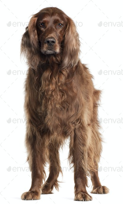Irish Setter, 5 years old, standing in front of white background