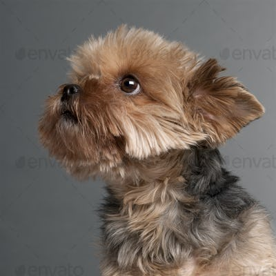 Yorkshire Terrier (7 years old)