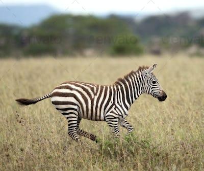 Zebra running in Serengeti National Park, Tanzania, Africa