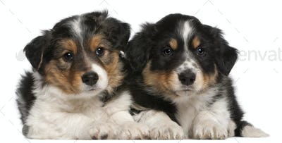 Border Collie puppies, 6 weeks old, lying in front of white background