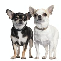 Two Chihuahuas in front of white background
