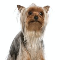Yorkshire Terrier, 1 year old, sitting in front of white background
