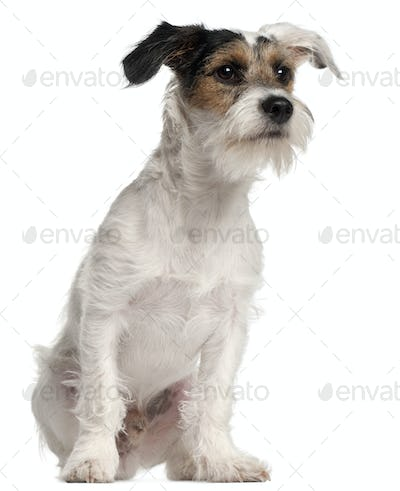 Fox Terrier puppy, 6 months old, sitting in front of white background