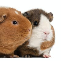 Guinea pigs, 9 months old, in front of white background