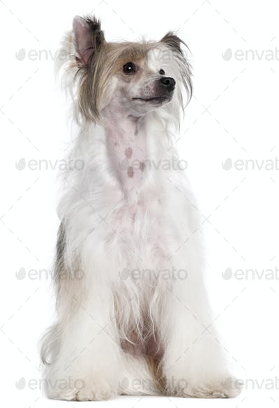 Chinese Crested Dog, 2 years old, sitting in front of white background