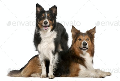 Male Border Collie, 7 years old, Female Border Collie, 3 years old, in front of white background
