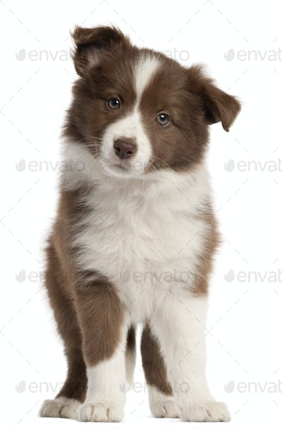 Border Collie puppy, 8 weeks old, standing in front of white background