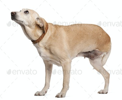 Three legged mixed-breed dog, 11 years old, standing in front of white background