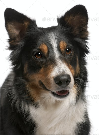 Close-up of Border Collie, in front of white background