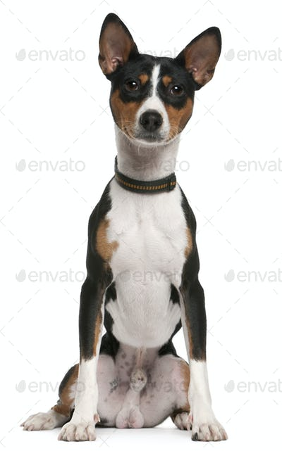 Basenji, 1 year old, sitting in front of white background