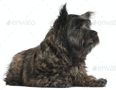 Cairn Terrier, 8 months old, lying in front of white background