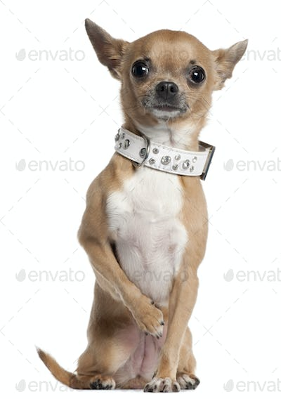 Chihuahua wearing collar, 2 and a half years old, sitting in front of white background