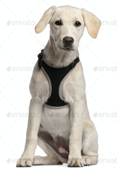 Labrador Retriever puppy, 16 weeks old, sitting in front of white background