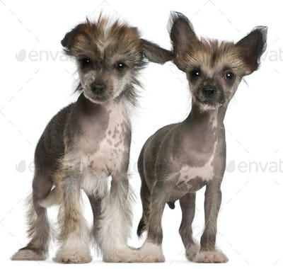 Chinese Crested Dog puppies, 2 months old, standing in front of white background