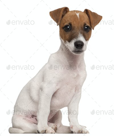 Jack Russell Terrier puppy, 3 months old, sitting in front of white background