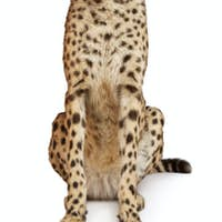 Cheetah, Acinonyx jubatus, 18 months old, sitting in front of white background