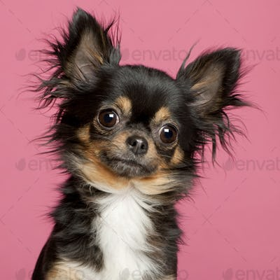 Chihuahua (2 years old)