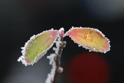 Frosted Leafs