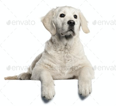 Golden Retriever puppy, 5 months old, lying in front of white background