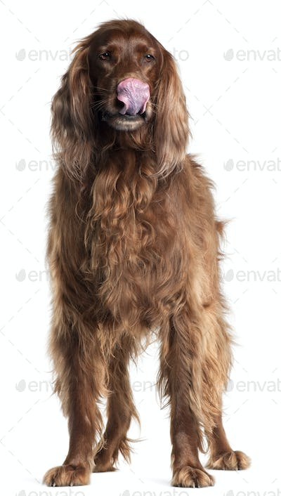 Irish Setter, 5 years old, licking his nose in front of white background