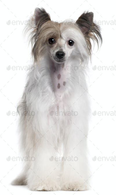 Chinese Crested Dog, 2 years old, standing in front of white background